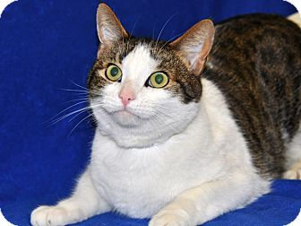 Domestic Shorthair Cat for adoption in Long Beach, California - K.C.