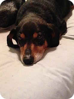 Dachshund Dog for adoption in Green Cove Springs, Florida - Tank