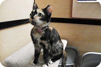 Domestic Shorthair Kitten for adoption in Riverside, California - Georgia