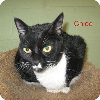 Domestic Shorthair Cat for adoption in Slidell, Louisiana - Chloe
