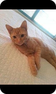 Domestic Shorthair Kitten for adoption in Monroe, North Carolina - Jack