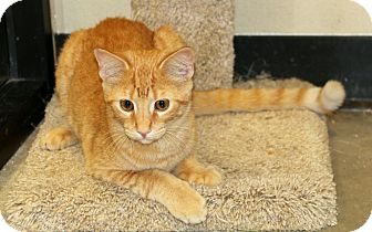 Domestic Shorthair Cat for adoption in Plano, Texas - CARROT - TABBY PUPPY DOG!!!