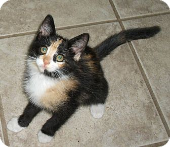 Calico Kitten for adoption in Plano, Texas - CHIPOTLE - FOUND AT CHIPOTLE'S