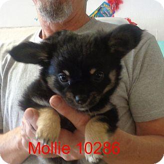 Pekingese/Corgi Mix Puppy for adoption in Manassas, Virginia - Mollie