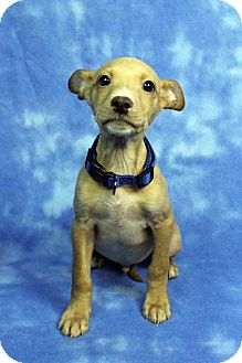 Shepherd (Unknown Type)/American Staffordshire Terrier Mix Puppy for adoption in Westminster, Colorado - Otto