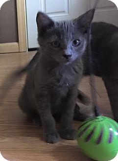 Domestic Shorthair Kitten for adoption in Loveland, Colorado - Emily