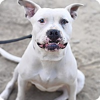 American Bulldog Mix Dog for adoption in Los Angeles, California - Annie