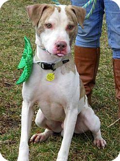 Pit Bull Terrier/Pharaoh Hound Mix Dog for adoption in Fulton, Missouri - Frisco - Ohio