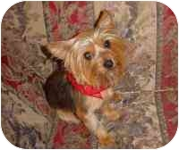 Yorkie, Yorkshire Terrier Mix Dog for adoption in Statewide and National, Texas - Jessie-NC