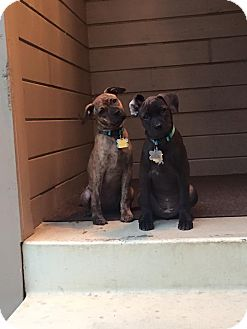 American Pit Bull Terrier Mix Puppy for adoption in Lincoln, California - PUPPY - Willow!!