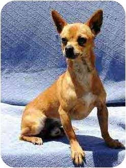 Chihuahua Dog for adoption in Santa Barbara, California - Emerson