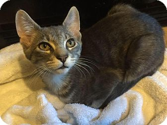 Domestic Shorthair Cat for adoption in oxford, New Jersey - Koda