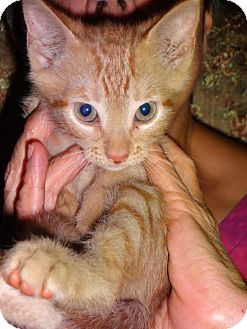 Domestic Shorthair Kitten for adoption in Satellite Beach, Florida - Weenie