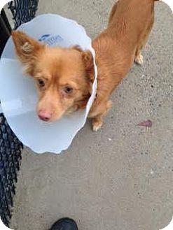 Pomeranian Mix Dog for adoption in Aiken, South Carolina - Buster