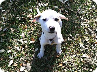 Labrador Retriever/Australian Shepherd Mix Puppy for adoption in Boerne, Texas - Lucille