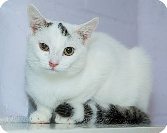 Domestic Shorthair Cat for adoption in Elmwood Park, New Jersey - Otis