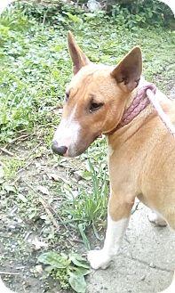 Bull Terrier Dog for adoption in Antioch, Illinois - ReRun - ADOPTION PENDING!!