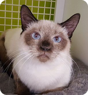 Siamese Cat for adoption in Meridian, Idaho - Melody