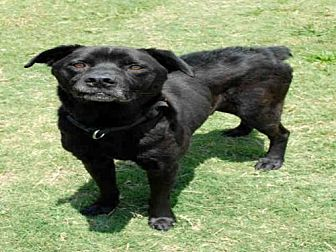 Labrador Retriever Mix Dog for adoption in Plano, Texas - KAISER