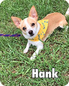 Chihuahua Mix Dog for adoption in Sarasota, Florida - Hank