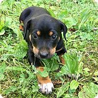 Adopt A Pet :: Sampson - Goodlettsville, TN