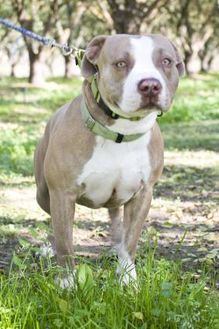 American Pit Bull Terrier/American Bulldog Mix Dog for adoption in Fresno, California - Decker