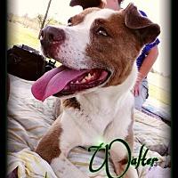 Adopt A Pet :: Walter - Hartford City, IN