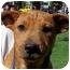 Photo 1 - Labrador Retriever/Australian Cattle Dog Mix Puppy for adoption in Olive Branch, Mississippi - Susie Q