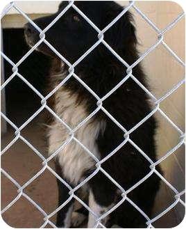Newfoundland Mix Dog for adoption in Carnegie, Oklahoma - Beau