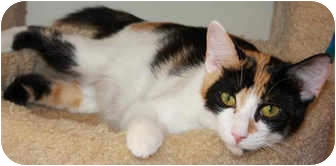 Domestic Shorthair Cat for adoption in Mt. Prospect, Illinois - Lindie