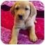 Photo 2 - Australian Shepherd/Golden Retriever Mix Puppy for adoption in Westminster, Colorado - LEXUS
