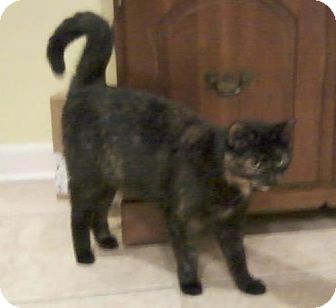 Domestic Shorthair Cat for adoption in Fairborn, Ohio - Trixie