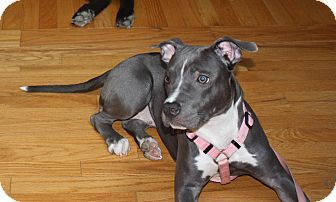 American Pit Bull Terrier/American Staffordshire Terrier Mix Puppy for adoption in Durham, New Hampshire - SAMANTHA Itty Bitty & Perfect!