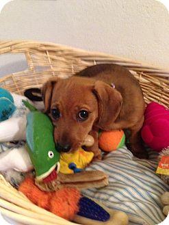 Rat Terrier/Dachshund Mix Puppy for adoption in Daytona Beach, Florida - Lizzy Lou