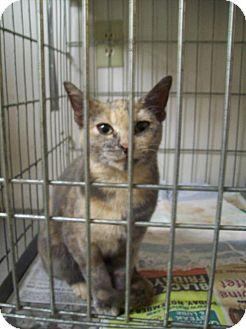 American Shorthair Cat for adoption in Walnut, Iowa - Lady Di