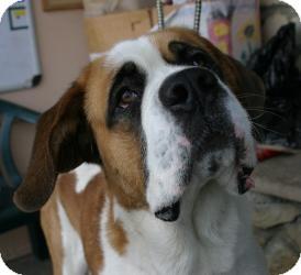 St. Bernard Dog for adoption in Canoga Park, California - Shorty