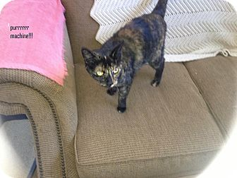 Domestic Shorthair Cat for adoption in Gardnerville, Nevada - Brie