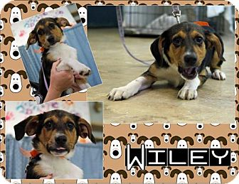 Hound (Unknown Type) Mix Puppy for adoption in East Hanover, New Jersey - Wiley