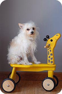 Terrier (Unknown Type, Small)/Maltese Mix Dog for adoption in Milan, New York - Freddie
