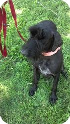 Giant Schnauzer Dog for adoption in Springfield, Missouri - Lomi