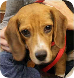 Beagle Dog for adoption in Port Washington, New York - Cisco