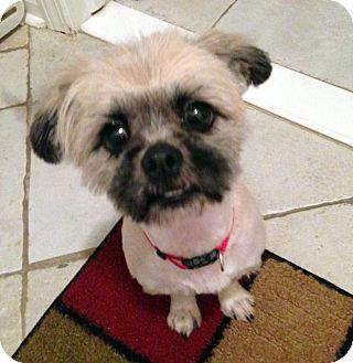 Shih Tzu Mix Dog for adoption in Detroit, Michigan - Trixie-Adopted!