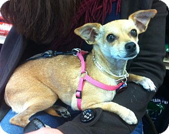 Chihuahua/Italian Greyhound Mix Dog for adoption in Studio City, California - Rooney