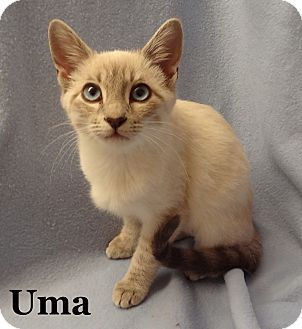 Siamese Kitten for adoption in Bentonville, Arkansas - Uma
