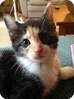 Calico Kitten for adoption in Huntsville, Ontario - Janet- Calico kitten!
