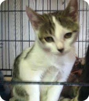 Domestic Shorthair Kitten for adoption in Hillside, Illinois - Billy