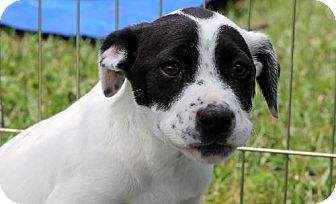 Pointer Puppy for adoption in New Smyrna beach, Florida - Baby english pointer mix pup
