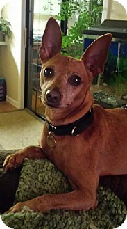 Miniature Pinscher Dog for adoption in Sacramento, California - Kobe