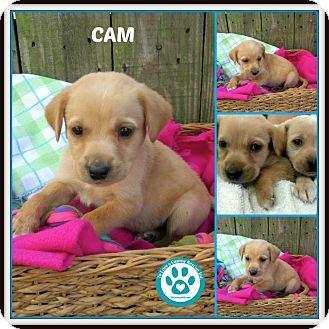 Labrador Retriever Mix Puppy for adoption in Kimberton, Pennsylvania - Cam
