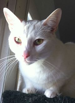 Domestic Shorthair Cat for adoption in Cocoa, Florida - Jody